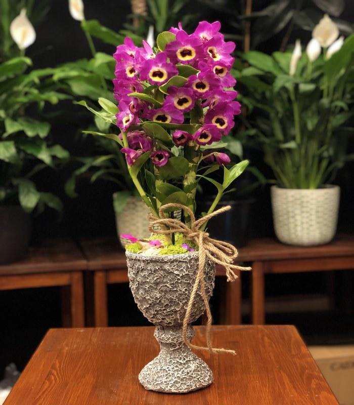 Dendrobium Bambu Orkide