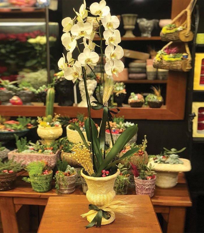 phalaenopsis Beyaz Vip