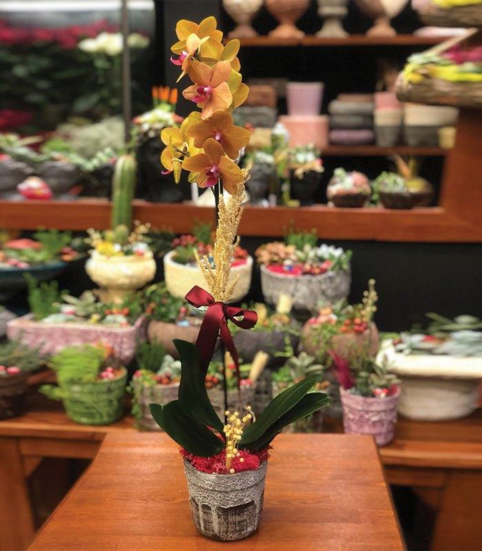 Phalaenopsis Turuncu Orkide